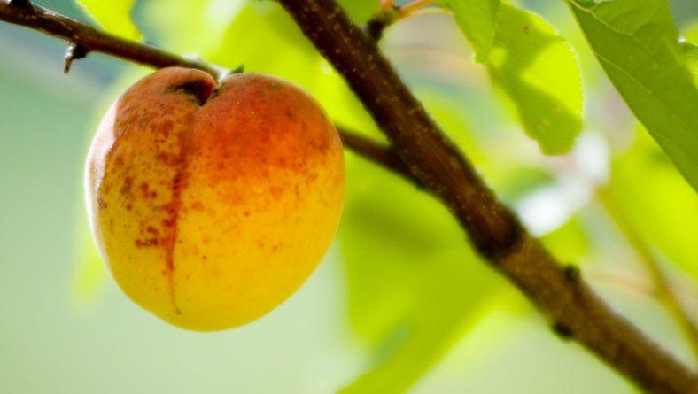 fruitoogst
